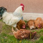 chickens 350