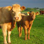 cows 350